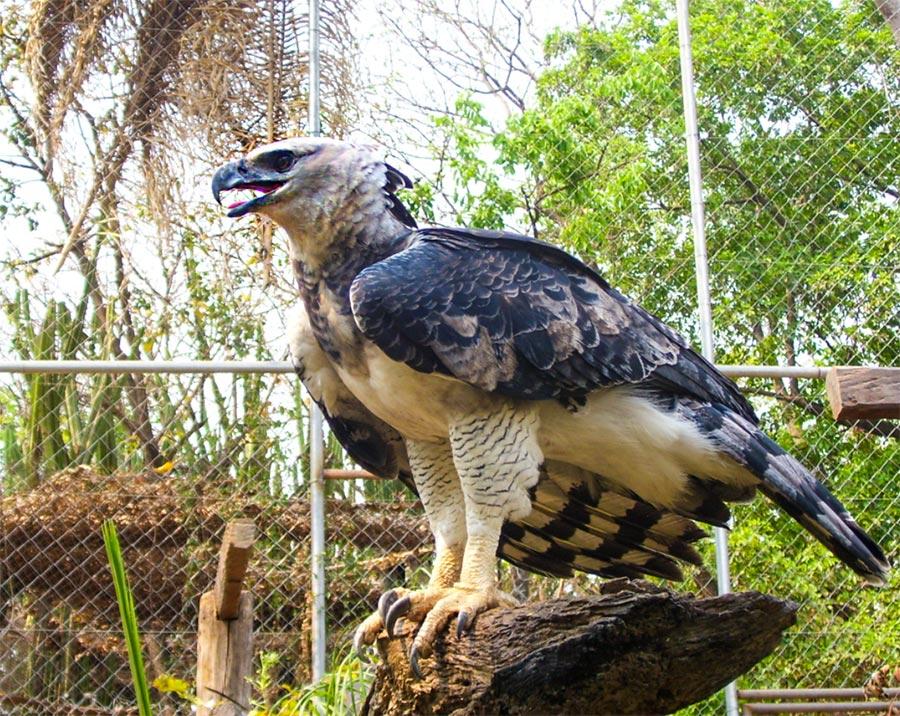 Harpia harpyja, Águila harpía, Guía de aves en Waste Magazine