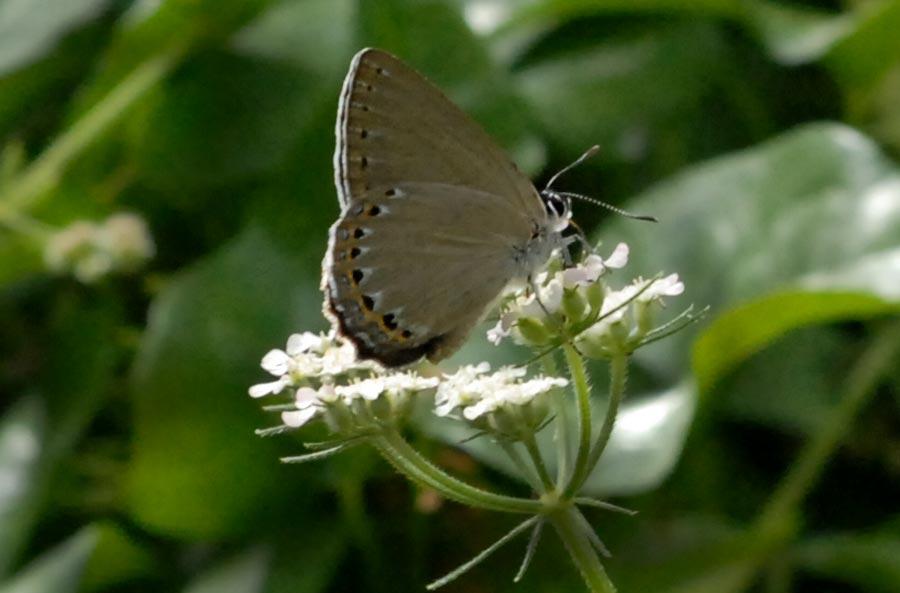 [FC] Mausoleum of butterflies Laeosopisroboris