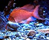 Anthias anthias (Tres colas)