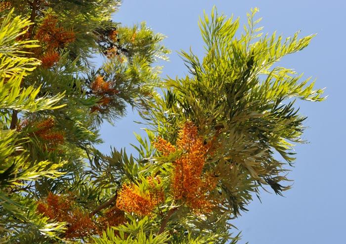 Grevillea robusta rbol de fuego en waste magazine for Arbol del fuego jardin
