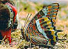 Charaxes jassius septentrionalis