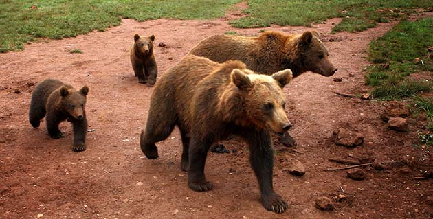Ursus arctos, Oso pardo, en Waste magazine