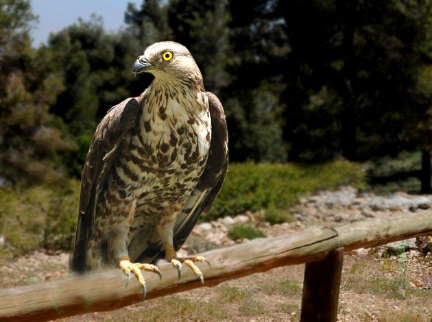 Resultado de imagen para halcon abejero europeo