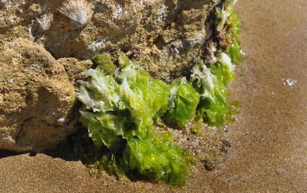 Ulva lactuca, lechuga de mar, Guia de especies marinas en Waste ...