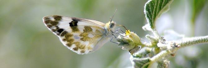 Lepidópteros, Mariposas de Granada y Andalucía, en Waste ...